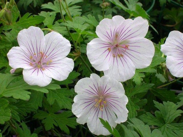 Bestel Geranium himalayense 'Derrick Cook' voordelig bij Plantenweelde