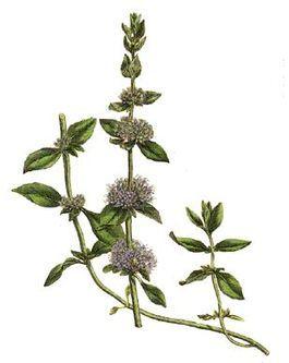 Las plantas en el A.E: menta piperita