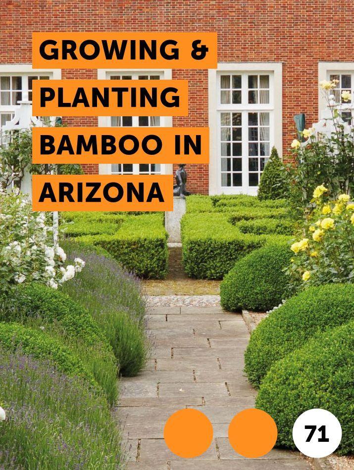 Growing Planting Bamboo In Arizona In 2020 Corn Plant Growing
