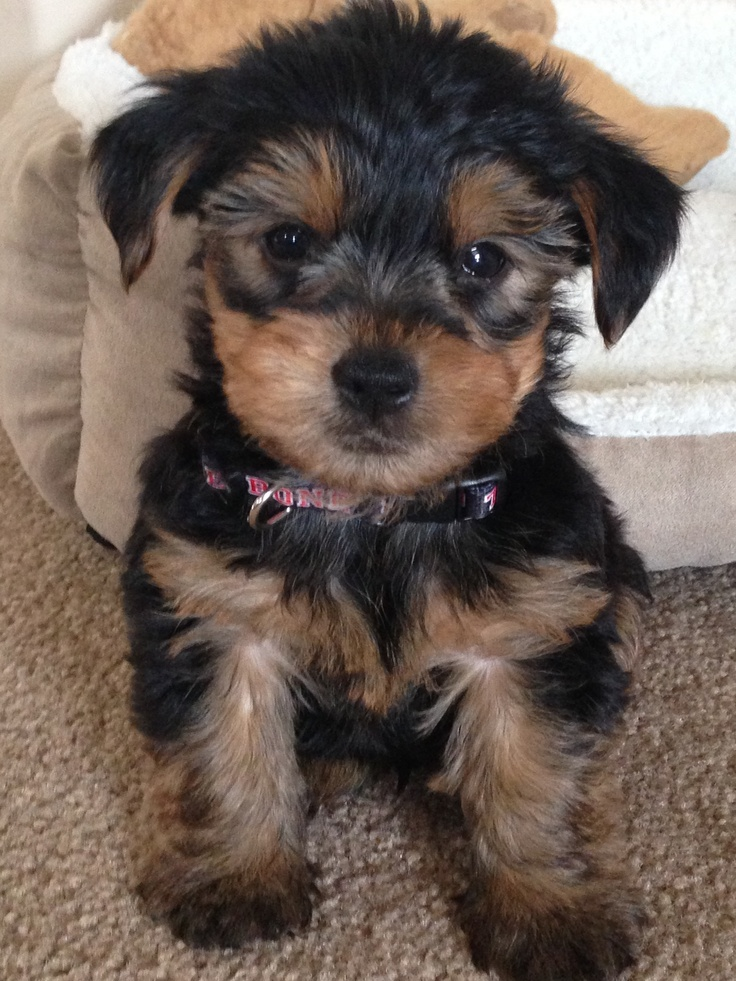 Morkie Puppies for Sale | Lancaster Puppies