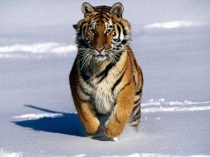 Tigre Siberiano. Es el más grande de los felinos, el mismo tiene un título muy prestigioso, esto se debe a que también es el más grande de la especie de tigres. Se encuentran en Siberia, desafortunadamente ese es su único hábitat natural, ya que han sido destruidos en Asia y Rusia en los últimos años.