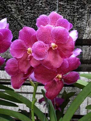 Vanda Orchid - various colours