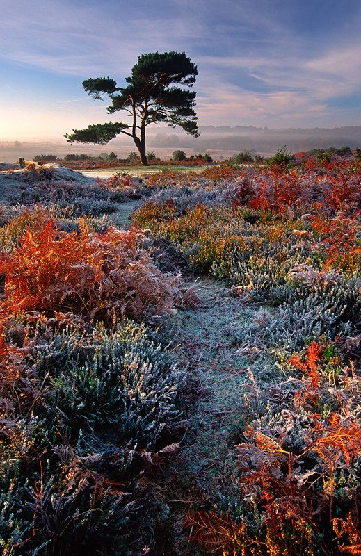 International Garden Photographer of the Year 2013- Adam Burton- Finalist. 'A Frosty Morning'.  A Scot's Pine in the New Forest, Hampshire, UK.