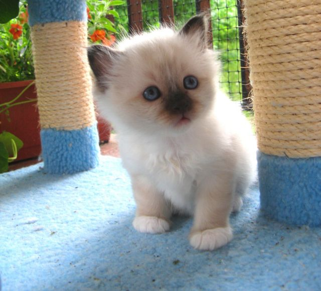 Birman kitten sweet, looks like my baby at that age