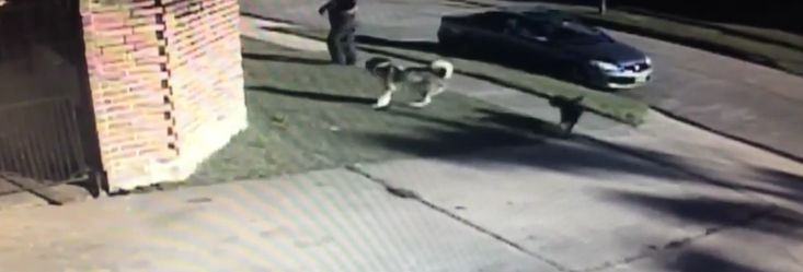 """1/24/17 A brazen thief didn't bother waiting for the cover of darkness to steal a dog out of hisowner's driveway in Fort Bend County, Texas. According to Monday's Click 2 Houston News, the man grabbed the two-year-old husky, named """"Fox,"""" on Saturday afternoon and dragged him to his van. Surveillance video captured the disturbing scene and …"""