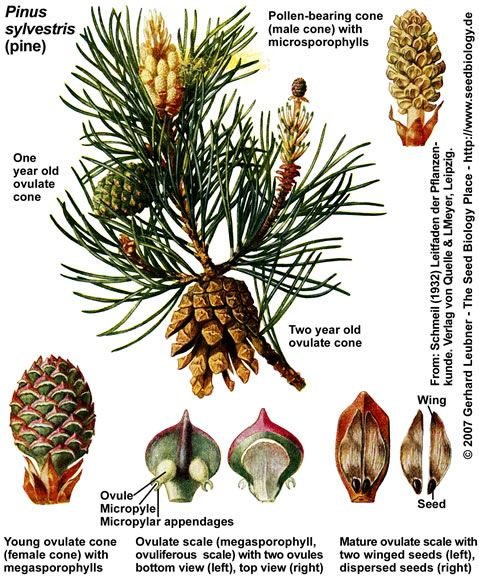 Pinus silvestris seed and cones