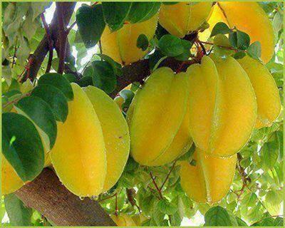 Five finger - Guyana Karambola, fruto semiácido, el cual se licúa y sirve de…