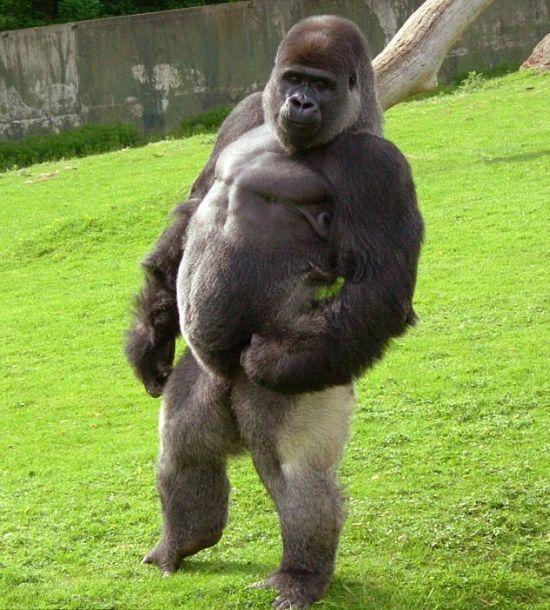 animals stNding on2 feet | Ambam est un gorille de 21 ans qui vit dans le Zoo de Kent, en ...