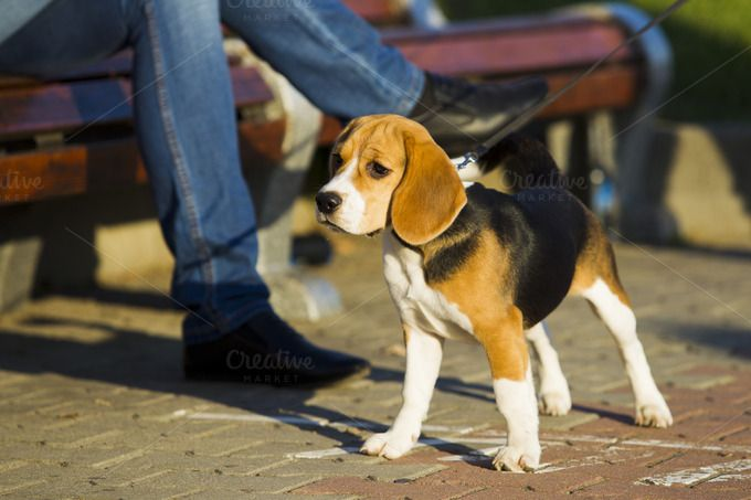 Beagle puppy by oleghz on Creative Market
