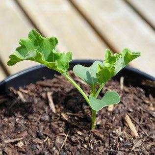boerenkool kweken, boerenkool zaaien, boerenkool binnen, huisplant, eetbaar, indoor moestuin
