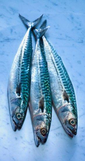 To photograph fresh mackerel for fish book