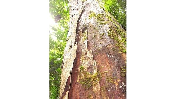 Dipterocarpus Lamellatus, árbol en extinción