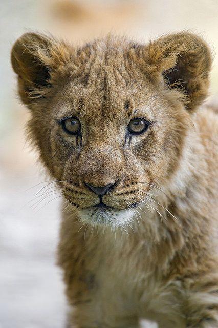 ~~lion cub portrait by Tambako The Jaguar~~
