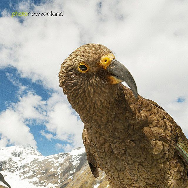 Good morning New Zealand! We hope you've had a nice weekend... Anyone took new pictures?  Share them with us using the hashtag #photonewzealand.  Image of the Day - ‬Juvenile kea cocking his head, Fiordland National Park by Corin Walker Bain.