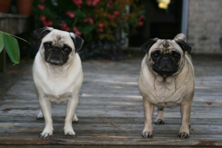 Miso and wasabi my sweet pugs! Pug-Dog