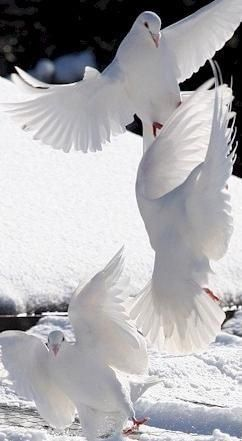 Romeo: So Shows a SNOWY DOVE trooping with crows/ As younder lady o`er her fellow shows Act I Sence V  Instead of discribing beautiful Juliet as a swan as he did with Rosaline, he describes her as a snowy dove.