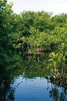 Durante la formación de la Amazonia, los bosques de manglar fueron remplazados por vegetación de selvas o sabanas predominantes de acuerdo c...