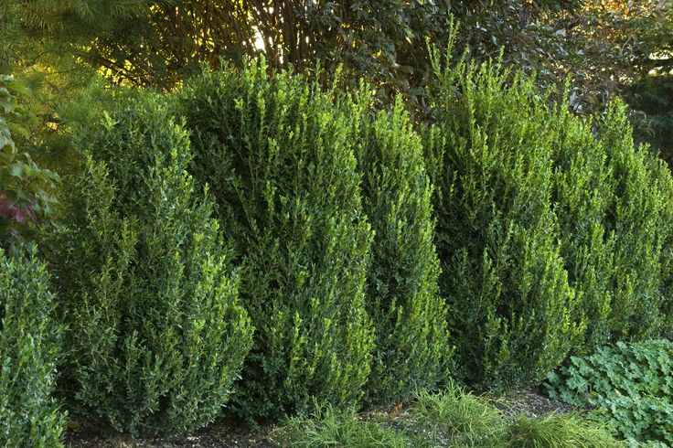 Green Mountain Boxwood.  Boxwood is a great plant to punctuate an entry or transitional area.  These evergreen plants are highly deer resistant, and grow well in most areas of the island.  I would recommend burlapping them in the winter.   The burlap, helps to cut down on desiccation of the leaves during the winter.