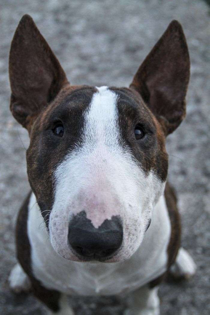 Bull Terrier Cutie!  ~ LUV THE SHAPE OF THEIR HEADS ~
