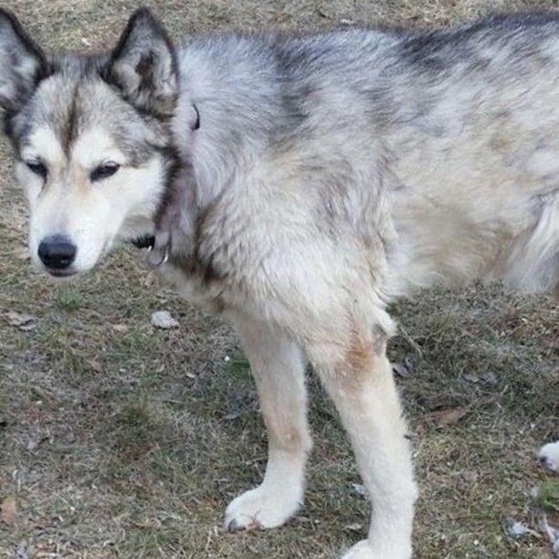 Lost Dog Britt Alaskan Husky Female Medical Date Lost 08 17