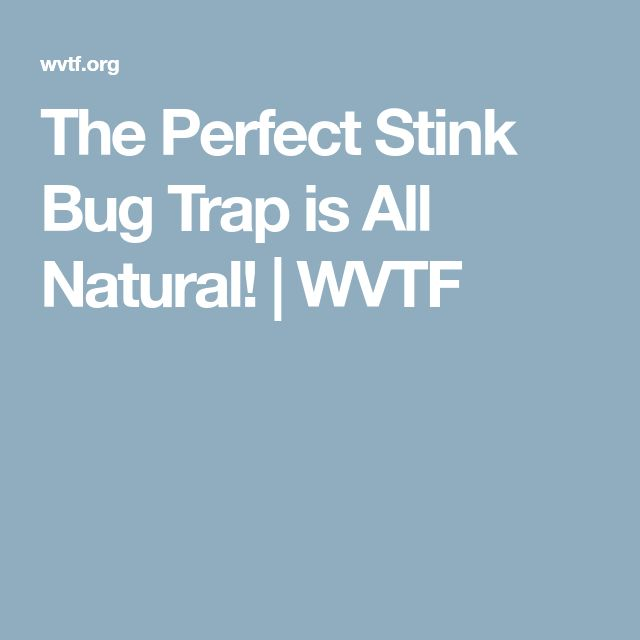 The Perfect Stink Bug Trap is All Natural! | WVTF