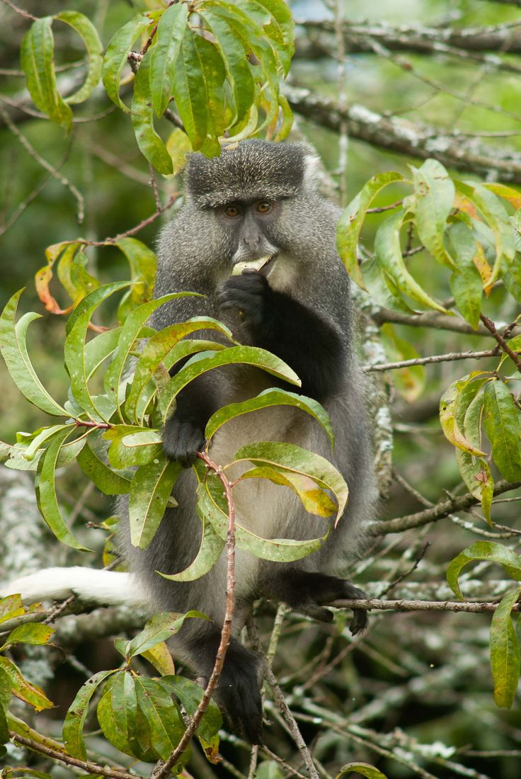 Our Samango Monkeys are rare and gentle creatures and a delight to watch in the trees...