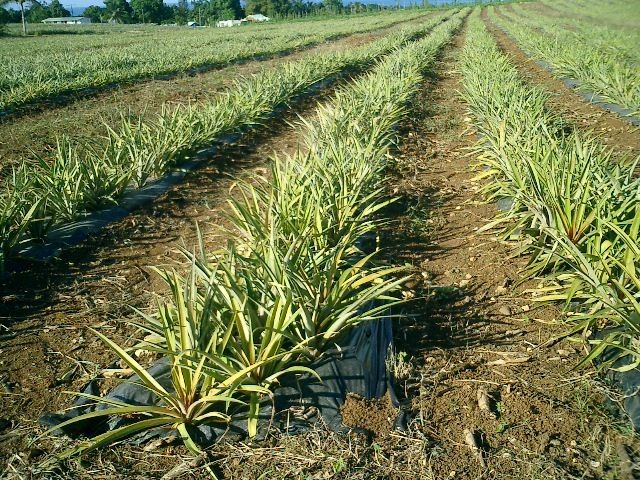 Pineapple farm! Plantation d'ananas à SainteRose en