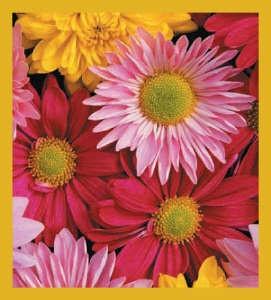 Daisies - multi color #00213