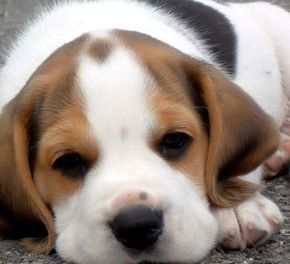 Miniature Basset Hound.I founf the picture on Bing.I didn't know there was a Miniature