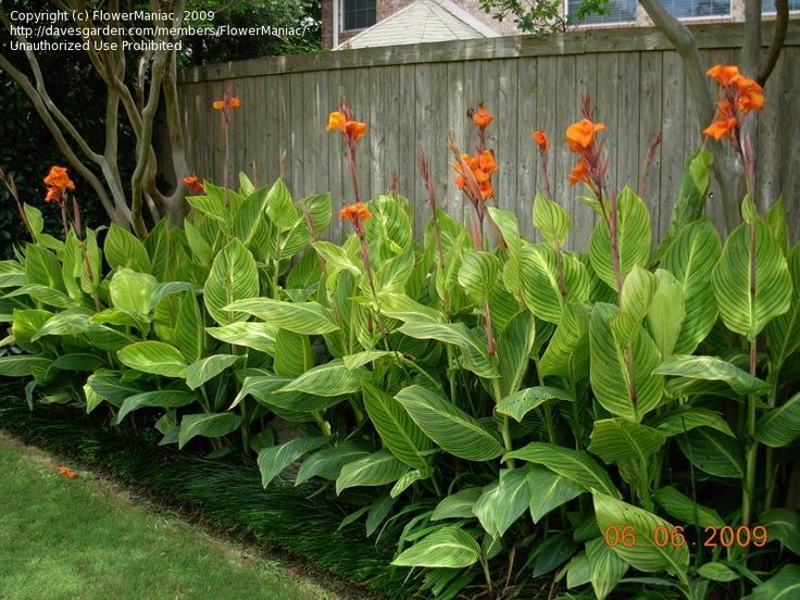 Orange-flowered Variegated Canna Lily Pretoria - native to tropical and subtropical regions of the New World, from the southern United States (southern South Carolina west to southern Texas) and south to northern Argentina