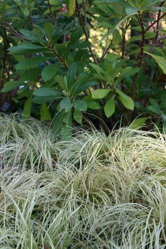 Edgeworthia papyifera and Carex 'Evergold'
