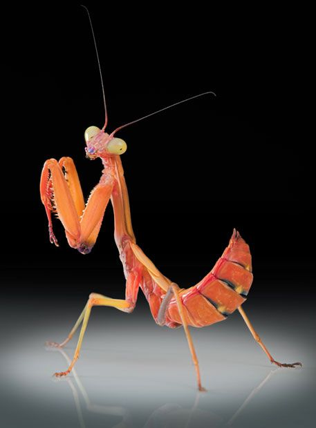 A Rhombodera Praying Mantis Picture: Igor Siwanowicz / Barcroft Media