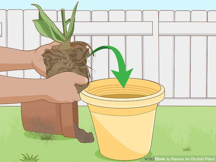 How To Revive An Orchid Plant In 2020 Orchid Plants Repotting Orchids Indoor Orchids