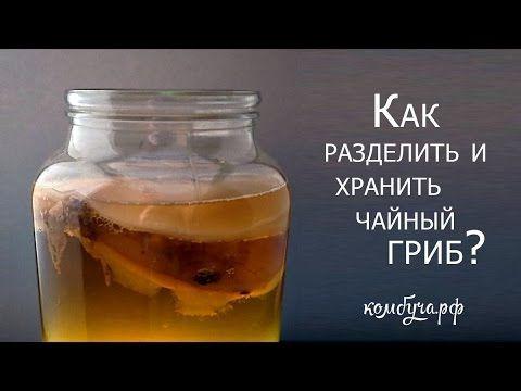 Как разделить и как хранить чайный гриб?