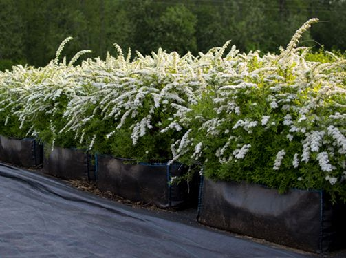 "Griefsheim Spirea - Spring. Blooms mid spring for a few weeks.  Light and airy, can be pruned to keep more ""formal"" and structured or left in a more natural form."