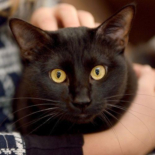 Congo, gato pantera espectacular esterilizado, nacido en Febrero´15, en adopción. Valencia.
