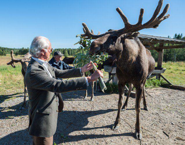 King Carl Gustaf feeding an elk in Umeå, Sweden.