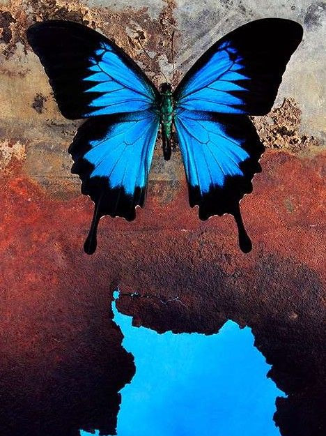 """""""Morpho Butterflies can be found in central and South America, and although not all Morpho Butterflies are blue, those that are have attracted humankind's attention from prehistoric times."""" (quote) via webecoist.momtastic.com"""