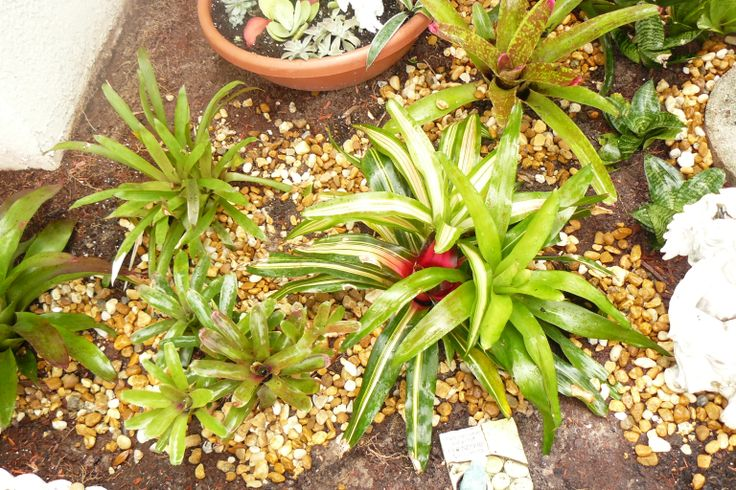 different kinds of BROMELIADS
