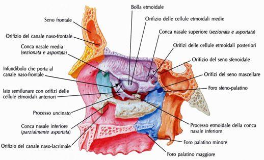 Parete laterale della fossa nasale