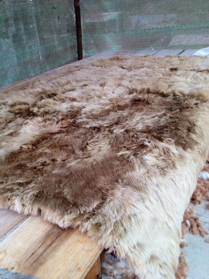 Straight off the press, a beautiful taupe #430 Alpaca Suri Rug!!
