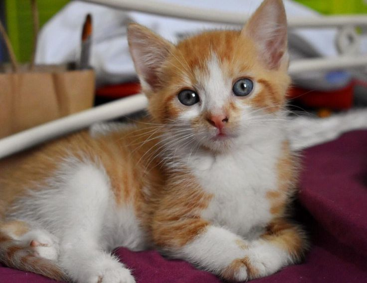 A new addition to our family! meet ollie, otherwise known as tiny cat. - http://cutecatshq.com/cats/a-new-addition-to-our-family-meet-ollie-otherwise-known-as-tiny-cat/