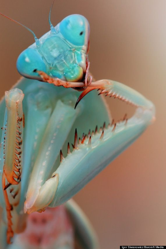 Here's looking at you: A praying mantis readies himself for warPhotos, Blue Orchids, Nature, Bugs, Colors, Beautiful, Insects, Praying Mantis, Animal