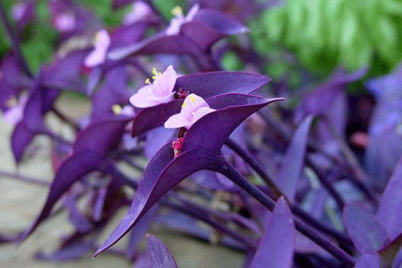 "Tradescantia pallida Purple Heart Plant out/indoor One plant ""Purple Wandering Jew"" Perenniel One Young Plants"