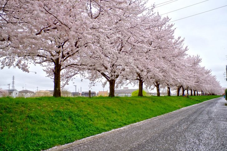 秋山川堀込地区の桜堤