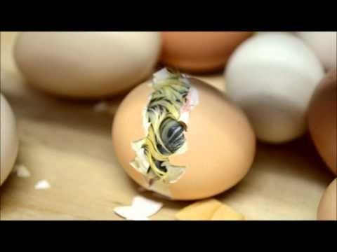 Geboorte van een kuikentje - YouTube