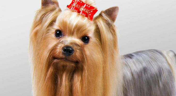 Right breed for you? Yorkshire Terrier information including personality, history, grooming, pictures, videos, how to find a Yorkshire Terrier and AKC standard.