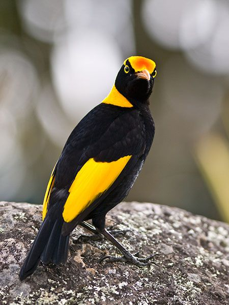 The Regent Bowerbird - Sericulus chrysocephalus . An Australian endemic, this species is distributed to rainforests and margins of eastern Australia .