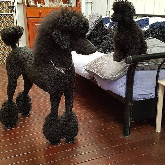 This is pony cut poodle Louis and his little friend