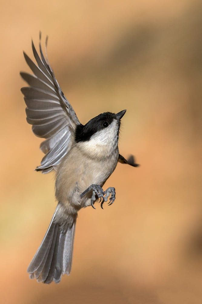 Willow tit flying by Roberto Melotti on 500px